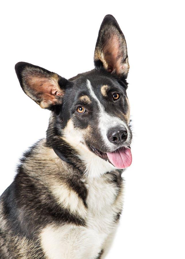 Pastor novo de sorriso feliz Dog Closeup imagens de stock