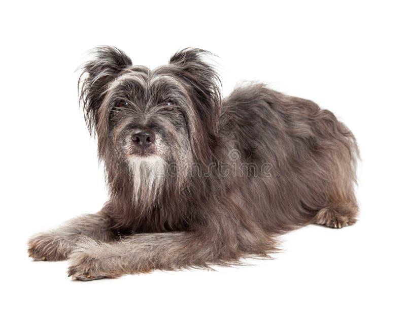 Pastor pirenaico bonito Dog Laying imagem de stock royalty free