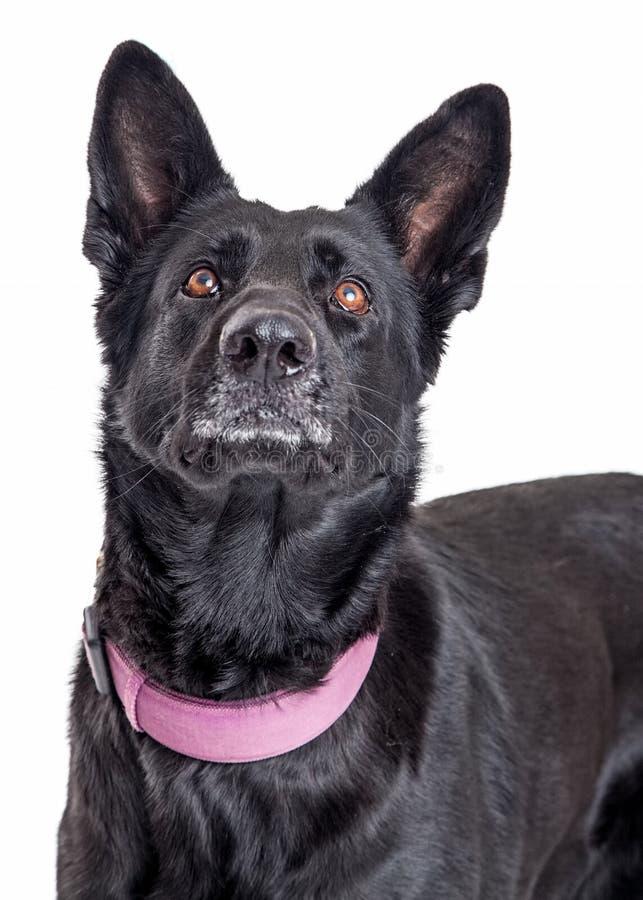 Pastor preto bonito Dog Looking Up fotografia de stock royalty free