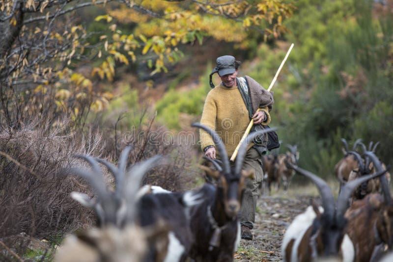Pastor que camina hacia la montaña con sus cabras imagen de archivo