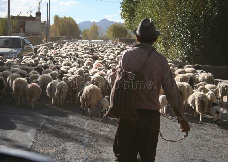 pastor que reúne ovejas a través de la calle en Tíbet imagenes de archivo