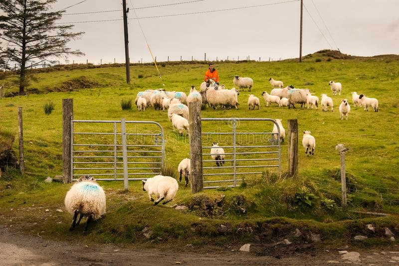 Pastor que recolecta una multitud de ovejas irlanda imágenes de archivo libres de regalías