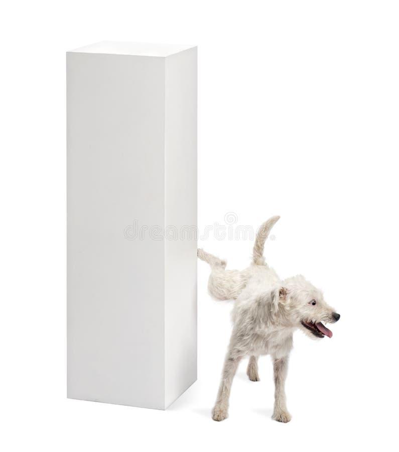 Pastor-Russell-Terrier, der auf einem Bedienpult uriniert stockfotografie