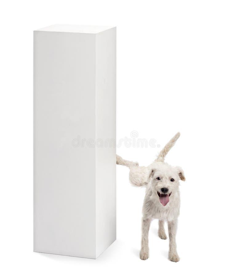 Pastor-Russell-Terrier, der auf einem Bedienpult uriniert stockbild