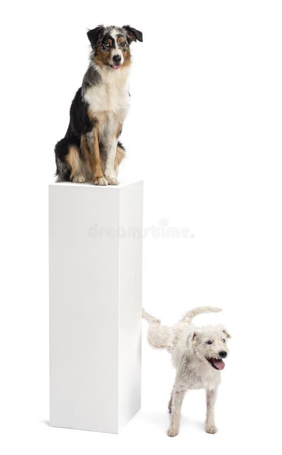 Pastor-Russell-Terrier, der auf einem Bedienpult uriniert lizenzfreies stockbild
