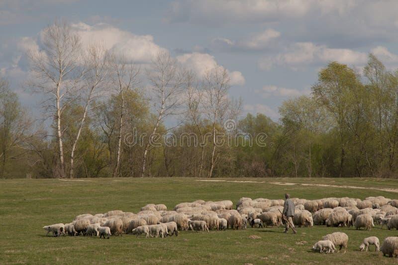 Pastor With Sheep foto de archivo libre de regalías