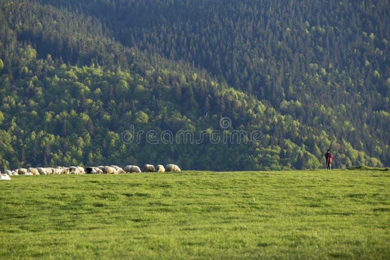 Pastor With Sheep fotografía de archivo