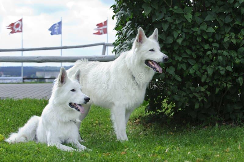 Pastor suíço branco Dog/Weisser Schweizer Schaeferhund/Berger fotografia de stock