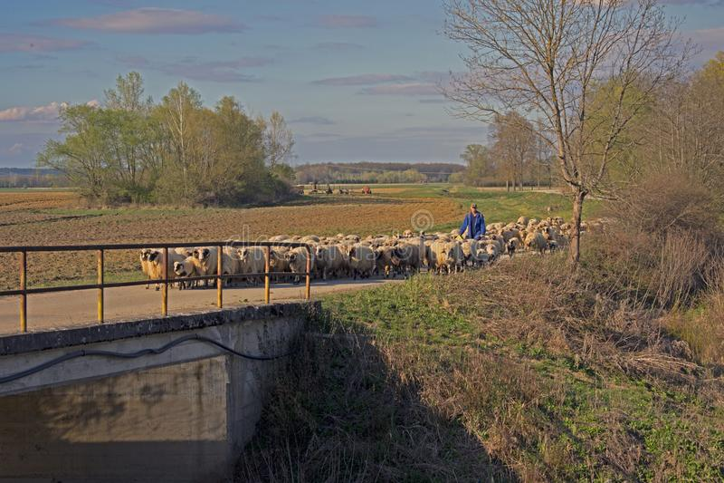 Pastor y multitud de ovejas imagen de archivo libre de regalías