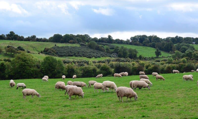 Sheep Pasture at Newgrange, Republic of Ireland 2. Pastoral scene of Irish sheep grazing in a pasture near  the River Boyne at Newgrange, Republic of Ireland royalty free stock photo