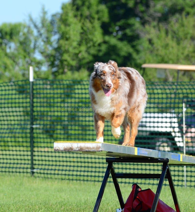 Pastore australiano (australiano) alla prova di agilità del cane immagine stock