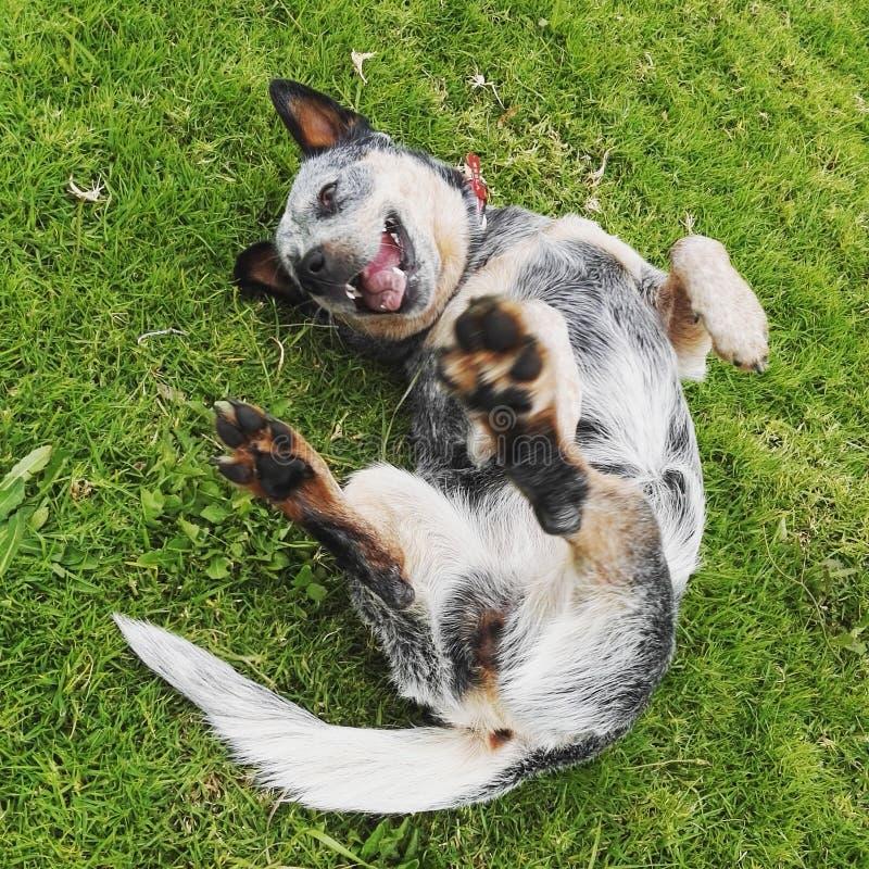 Pastore australiano che gioca nell'erba fotografia stock