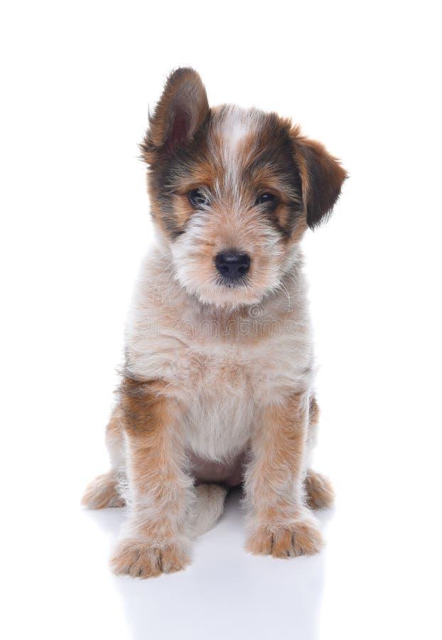 Pastore australiano Mix Puppy immagini stock