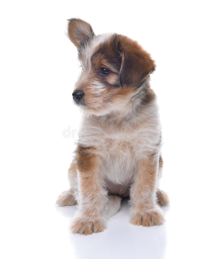 Pastore australiano Mix Puppy immagine stock