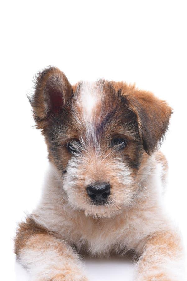 Pastore australiano Mix Puppy del primo piano fotografia stock