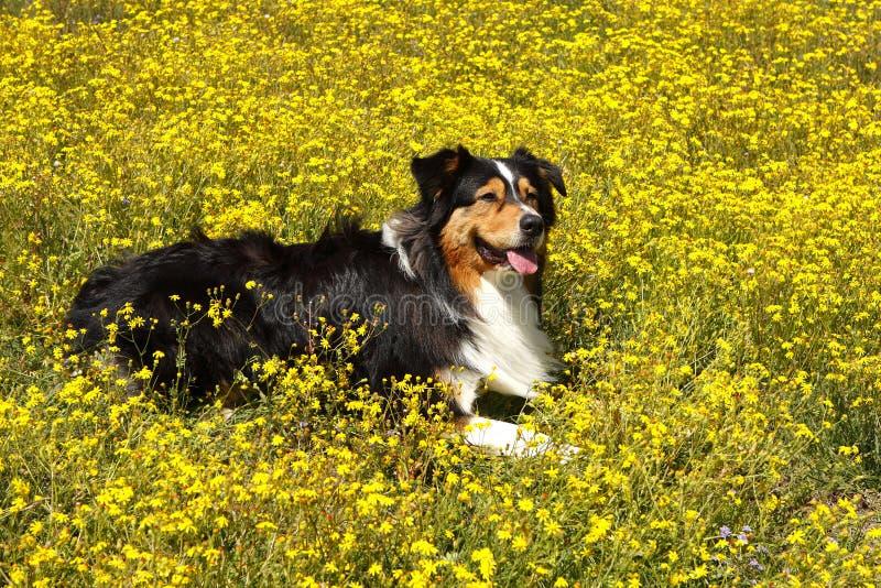 Pastore australiano nei fiori fotografia stock libera da diritti