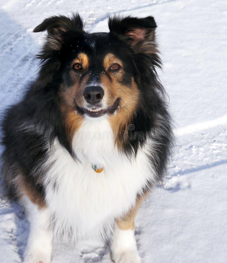 Pastore australiano nella neve fotografia stock libera da diritti