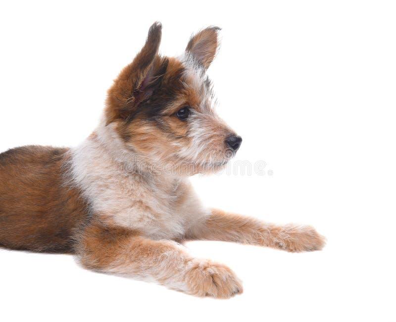 Pastore australiano Puppy che mette su bianco fotografia stock libera da diritti
