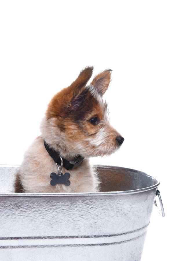 Pastore australiano Puppy in secchio immagine stock