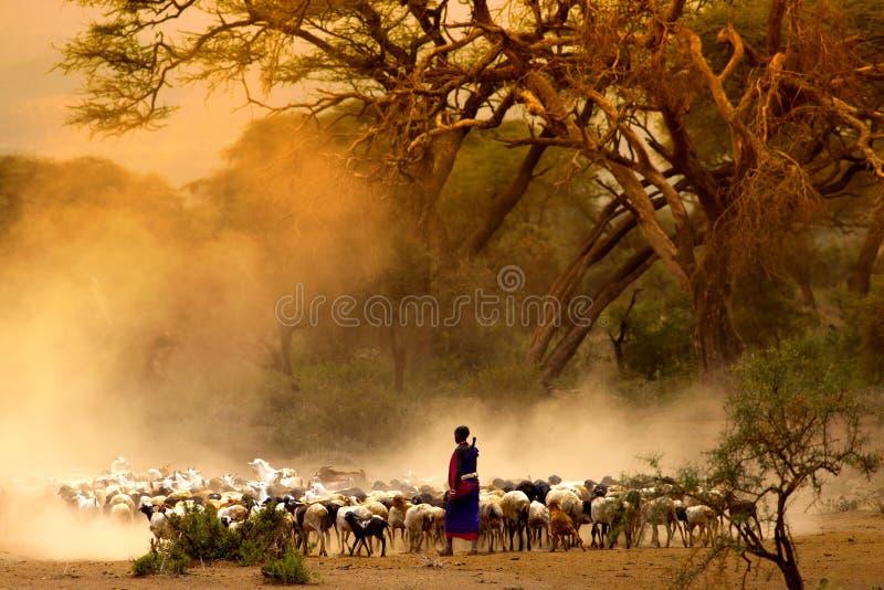 Pastore che conduce una moltitudine di capre immagine stock