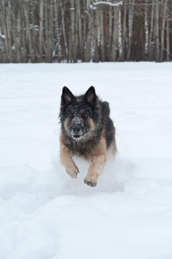 Pastore dell'Europa orientale che gioca nella neve fotografie stock libere da diritti