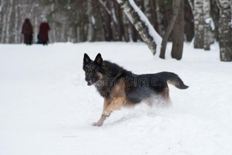Pastore dell'Europa orientale che gioca nella neve immagini stock