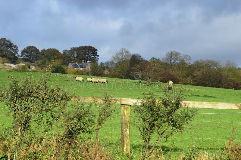 Pastore e la sua moltitudine al castello Bolton Wensleydale Yorkshire immagini stock libere da diritti