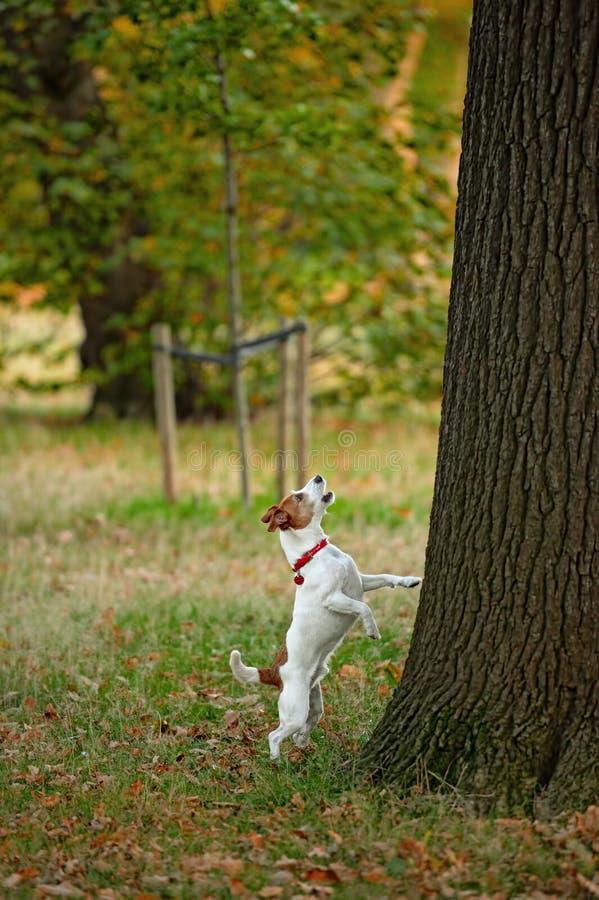 Pastore Jack Russell che scorteccia sull'albero errato? fotografia stock