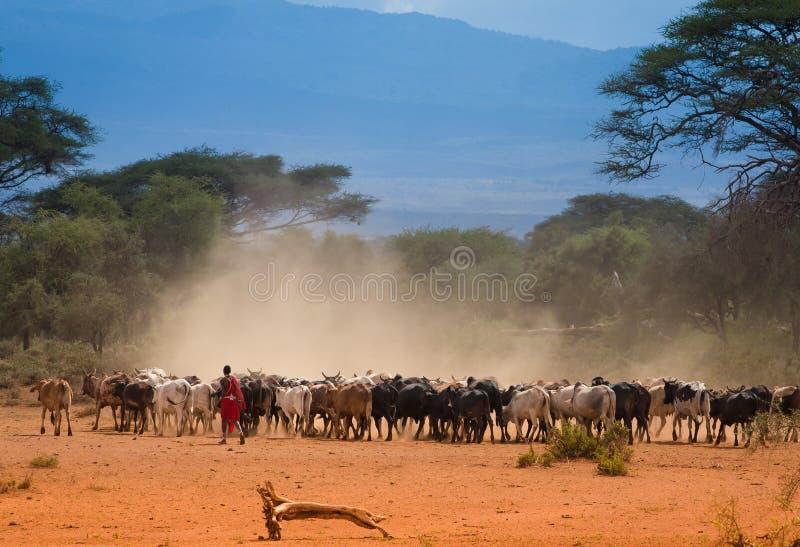 Pastore masai con il gregge delle mucche immagini stock