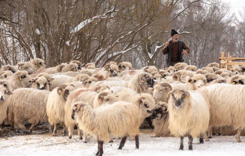 Pastore nel lato del paese con le pecore sentite nelle montagne immagini stock libere da diritti