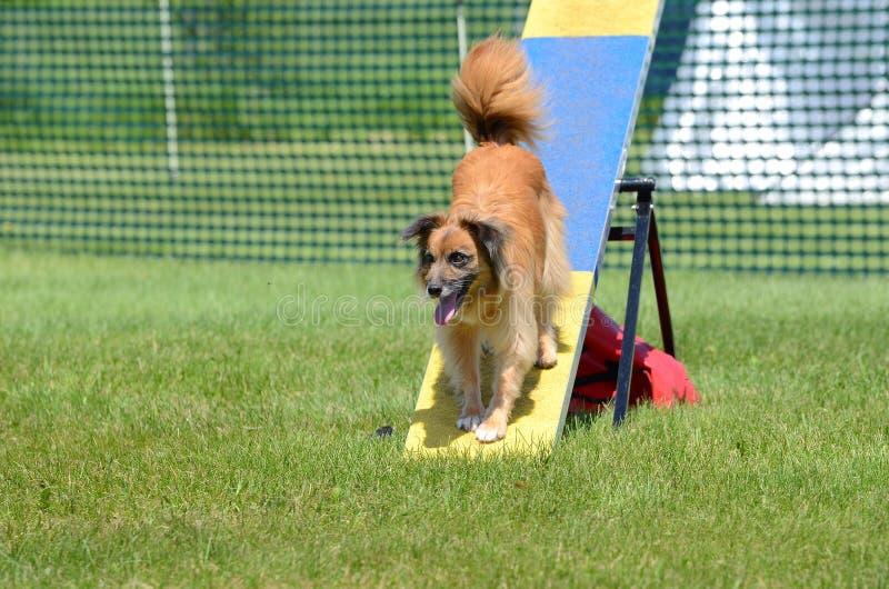 Pastore pirenaico alla prova di agilità del cane immagini stock libere da diritti