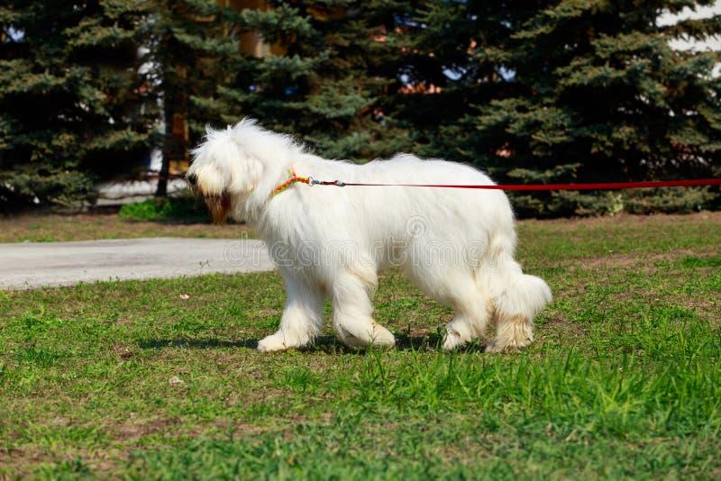 Pastore russo del sud della razza del cane fotografia stock