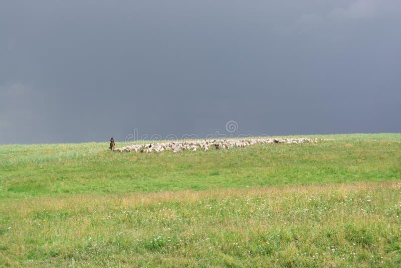 Pastore With Sheep La moltitudine pasce sulla collina Collina verde Stagione di estate immagini stock libere da diritti