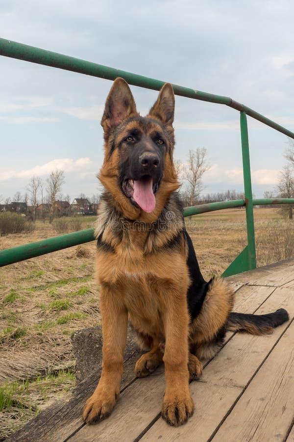 Pastore tedesco del cucciolo che si siede su un ponte di legno fotografia stock
