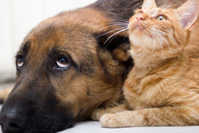 Pastore tedesco Dog e del gatto gatto e cane insieme che si trovano insieme immagine stock