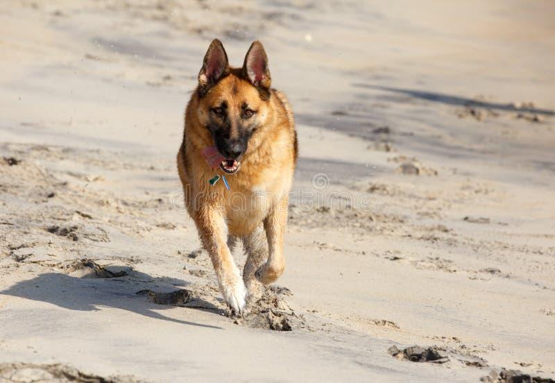 Pastore tedesco Dog Running sulla spiaggia immagini stock libere da diritti