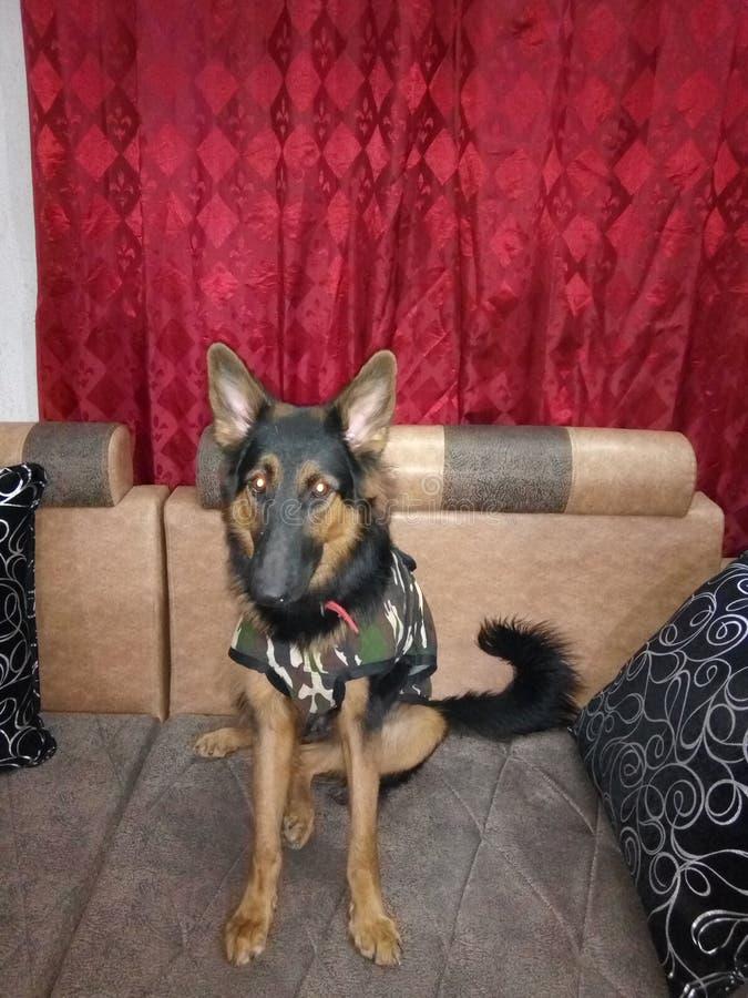 Pastore tedesco 14 mesi del cucciolo femminile che si siede tranquillamente sopra il sofà fotografia stock libera da diritti