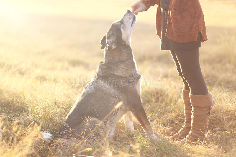 Pastore tedesco Mix Dog Sitting buon e che ottiene ossequio da Owne fotografia stock