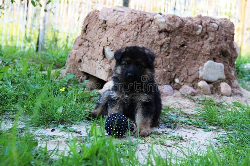 Pastore tedesco Puppy fotografie stock libere da diritti