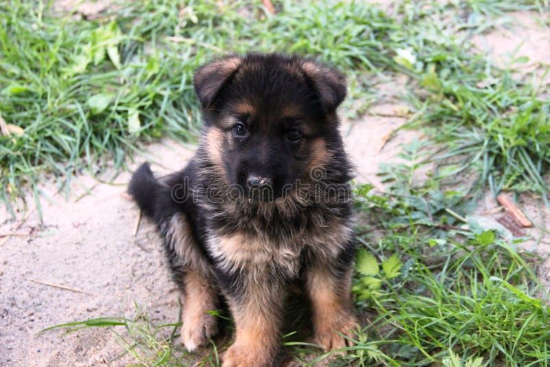 Pastore tedesco Puppy fotografie stock