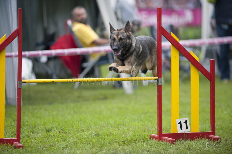 Pastore tedesco sulla concorrenza di agilità, sopra il salto della barra Cane fiero che salta sopra la ricreazione di ostacolo fotografie stock libere da diritti