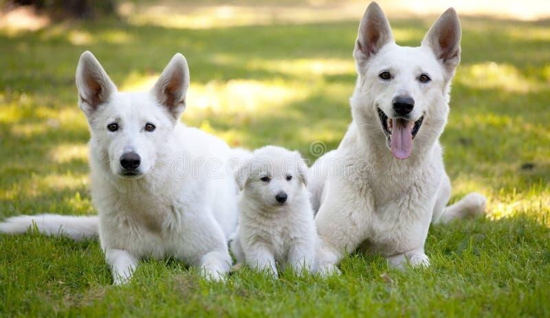 Pastores suíços brancos com filhote de cachorro pequeno foto de stock royalty free