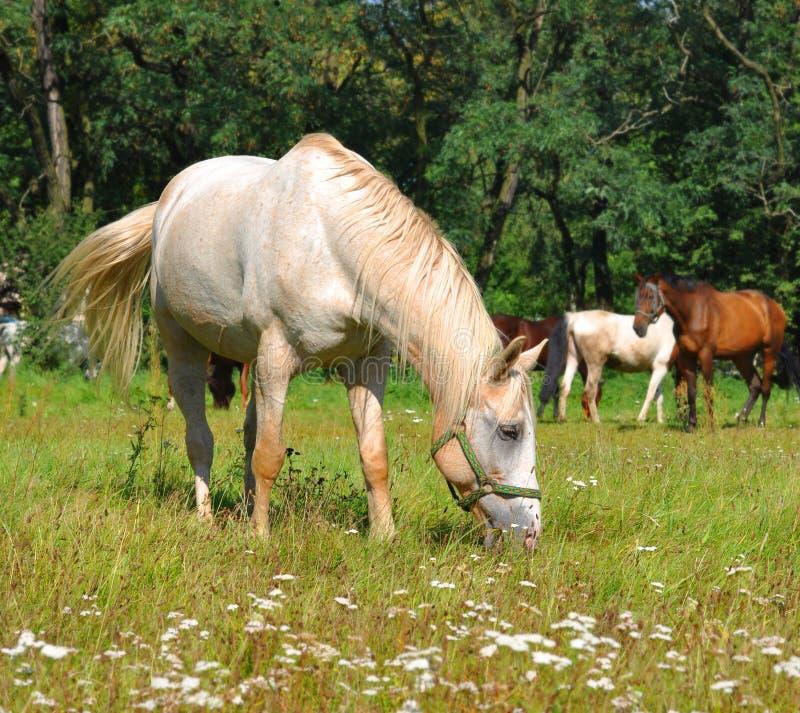 Pastos do cavalo branco no campo imagens de stock