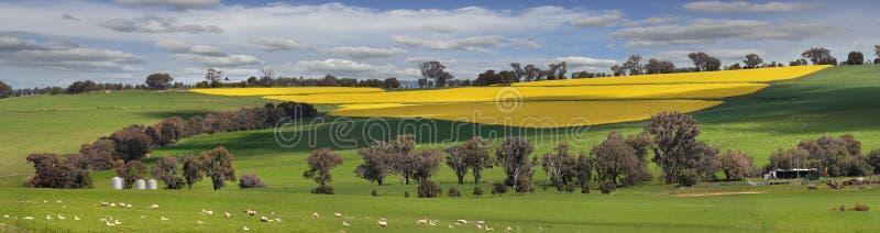 Pastos e campos verdes do ouro foto de stock royalty free
