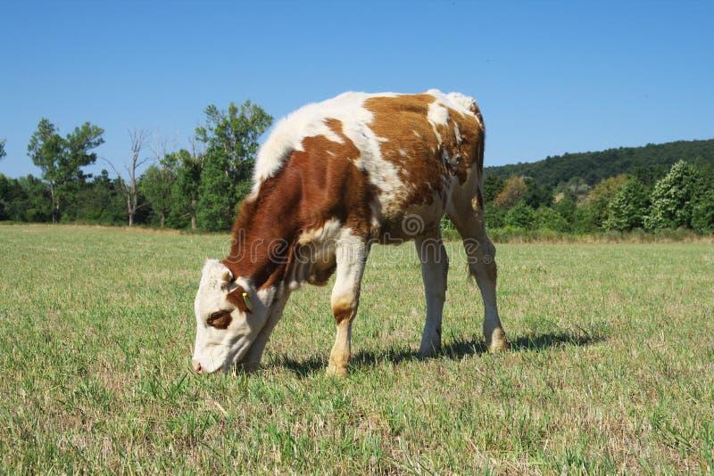 Pasturage Kuh. stockbild