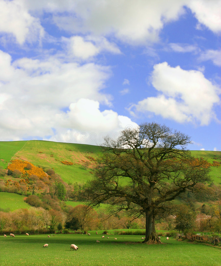 The Pasture. Fields in the spring set amongst hills with sheep grazing and a large oak tree on a blue sky and puffy white cloud day