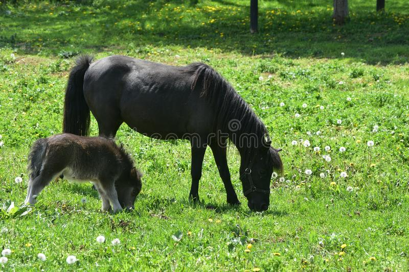 Black Foal with Mare Grazing in a Grass Field royalty free stock photos