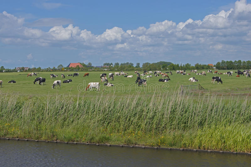 Pasture with cows royalty free stock images