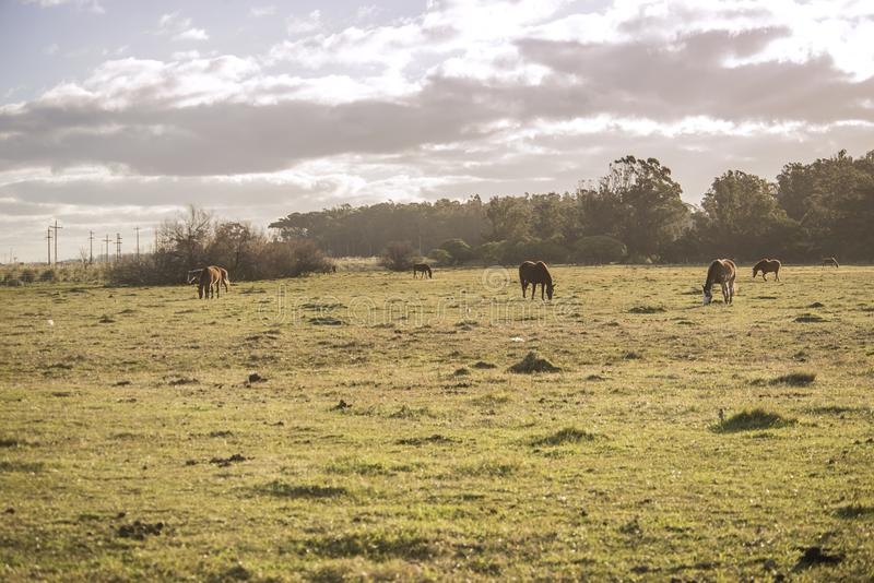 Horses grazing on the pasture fields , in Argentina royalty free stock images