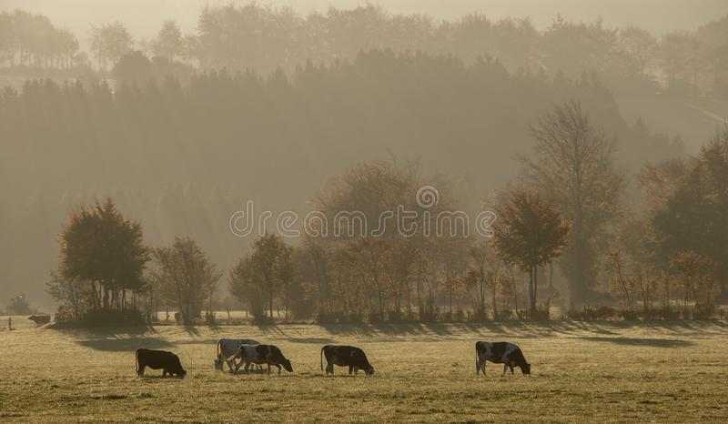 Pasture, Herd, Mist, Grassland royalty free stock photography